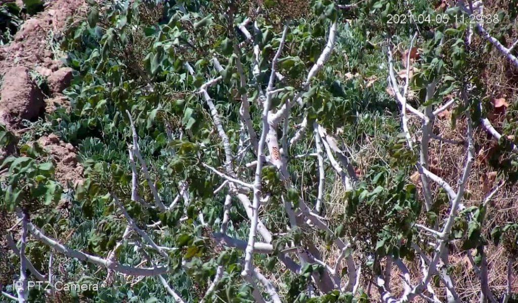 سرمازدگی درختان پسته